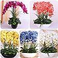 Bornbayb 200 Pezzi Miscela Semi di Phalaenopsis Farfalla Semi di Orchidea Semi di Fiori Bonsai Pianta domestica