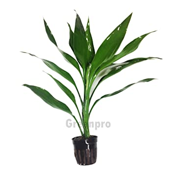 Amazon Com Greenpro Lucky Bamboo Dracaena Sanderiana Green Potted