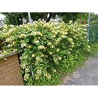 Nuevo envío libre 30pcs Semillas madreselva/semillas, semillas de siembra Jinyinhua medicina herbal china el jardín de…