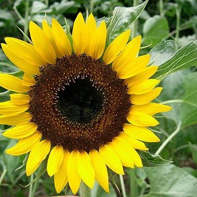 Hopi Black Dye Sunflower Seeds (Helianthus annuus) 10+ Rare Flower Seeds : Garden & Outdoor