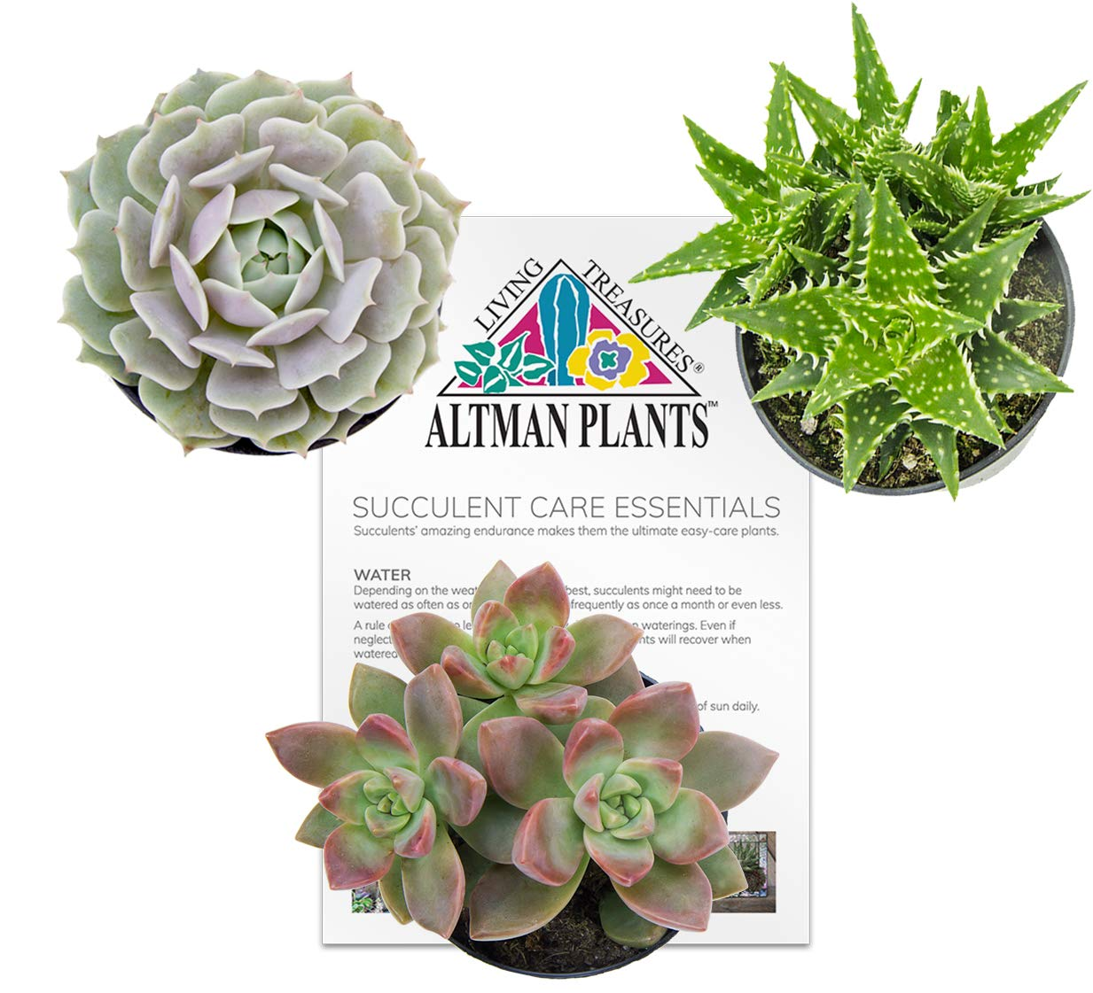 Altman Plants Assorted Live Succulents All Time Favorite Collection Large plants for DIY planters and terrariums, 3.5'', 3 Pack