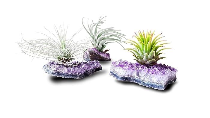 Tillandsia Pflanze Mit Amethyst Druse Rohstück | Tillandsien Pflanzen Deko  | Luftpflanzen Halter Echt Für Pflanze