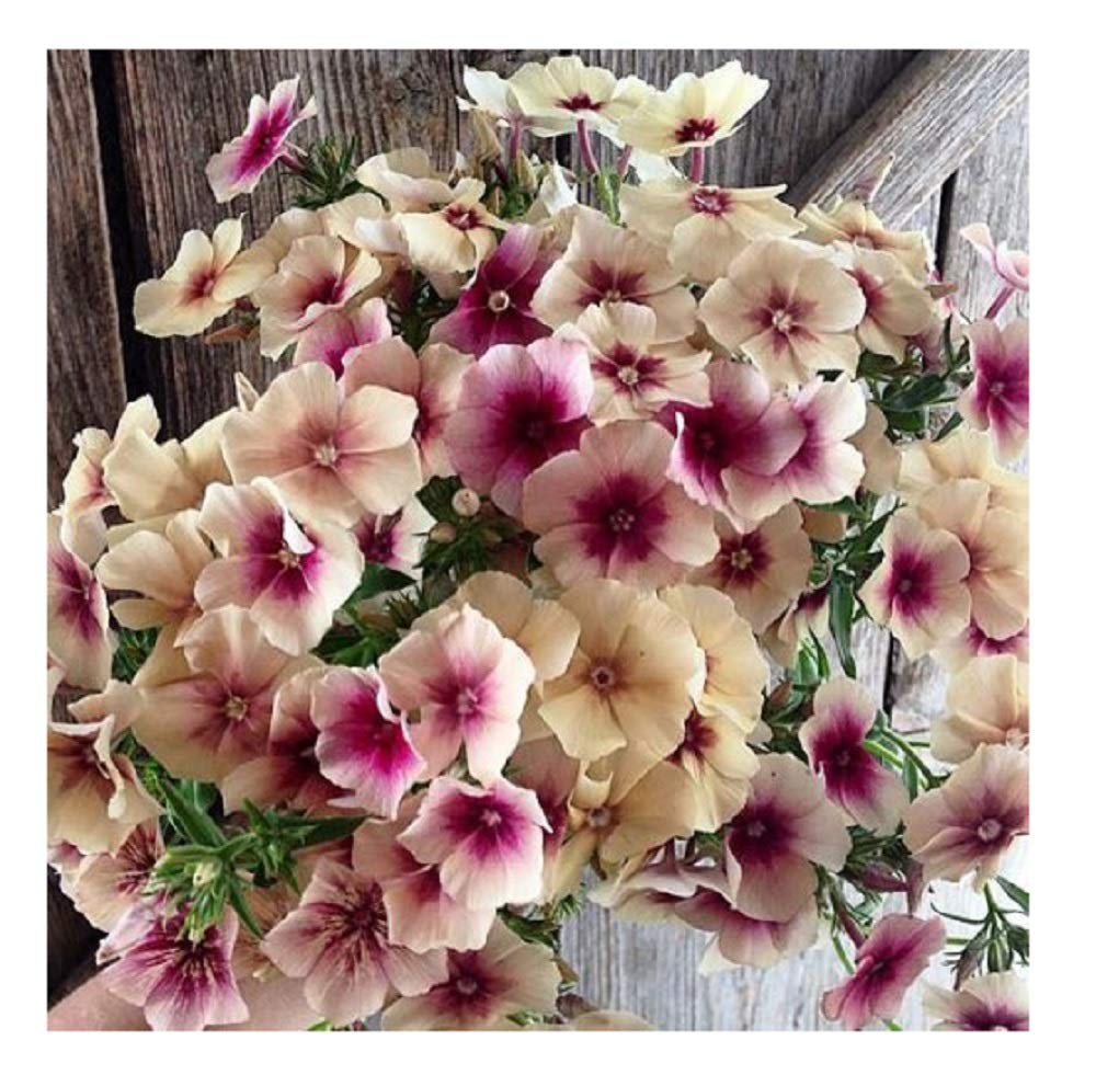 David's Garden Seeds Flower Phlox Cherry Caramel SL1928 (Multi) 100  Non-GMO, Heirloom Seeds