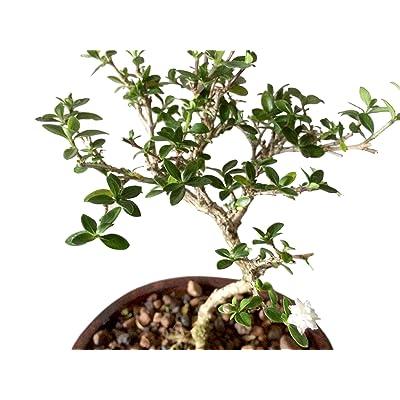 """9GreenBox - Japanese Serissa Bonsai - 4"""" Pot: Garden & Outdoor"""