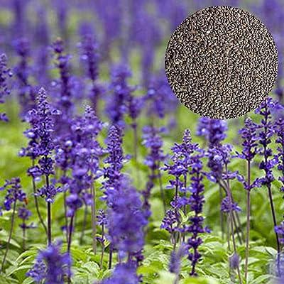 100 pcs Purple sage Seeds : Garden & Outdoor