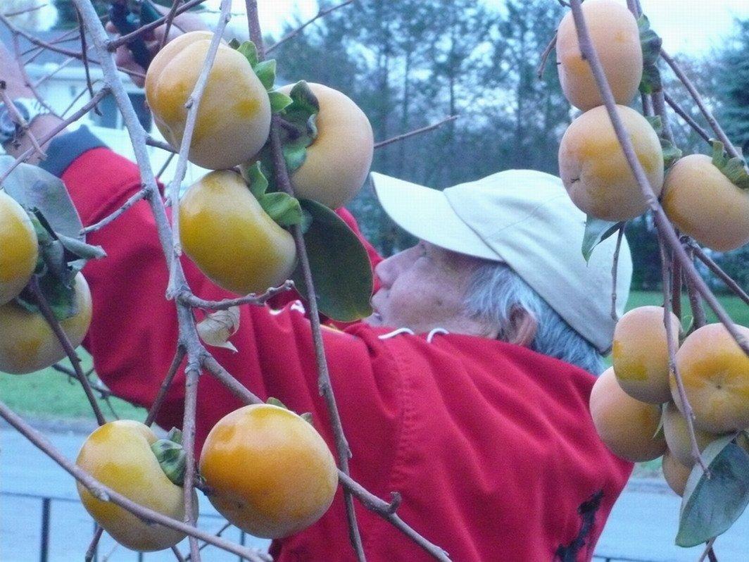 Ichi-Ki-Kei-Jiro Asian Persimmon (Grafted)- Fruiting