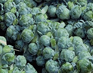 Brussel Sprouts Seed, Long Island Improved, Heirloom, Non GMO, 25+ Seeds, Early Delicious Veggie Country Creek Acres…