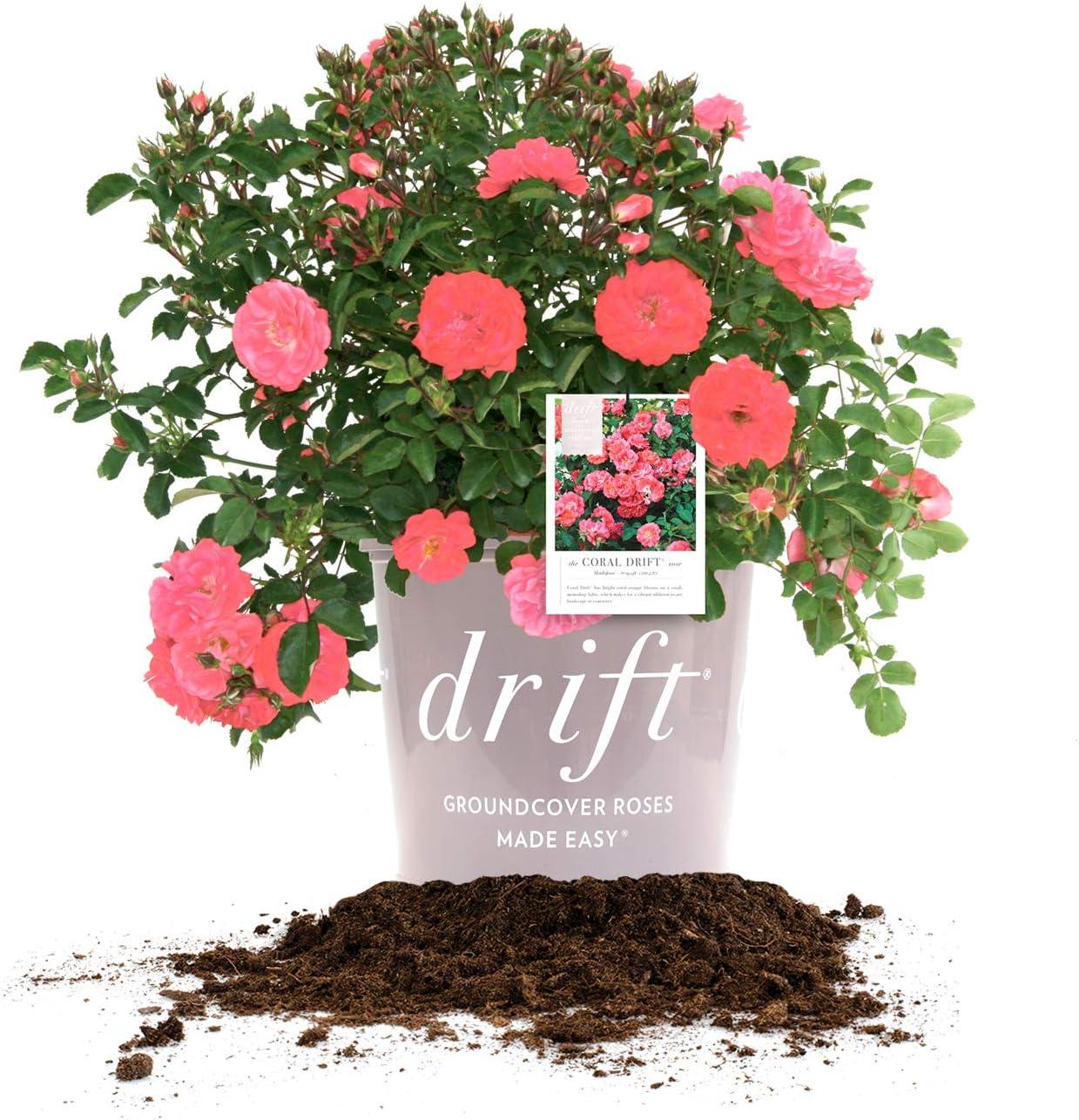 Amazon Com Perfect Plants Coral Drift Rose Live Plant 3 Gallon