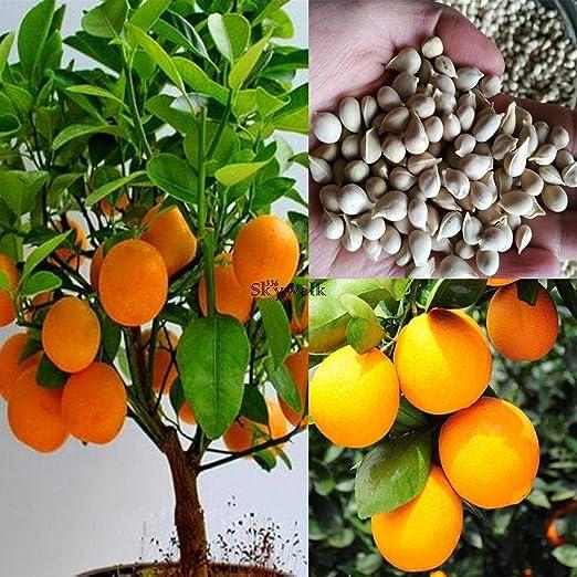 Plantree 10 Unids/Bolsa Semillas De Naranja Semillas De Naranjo ...