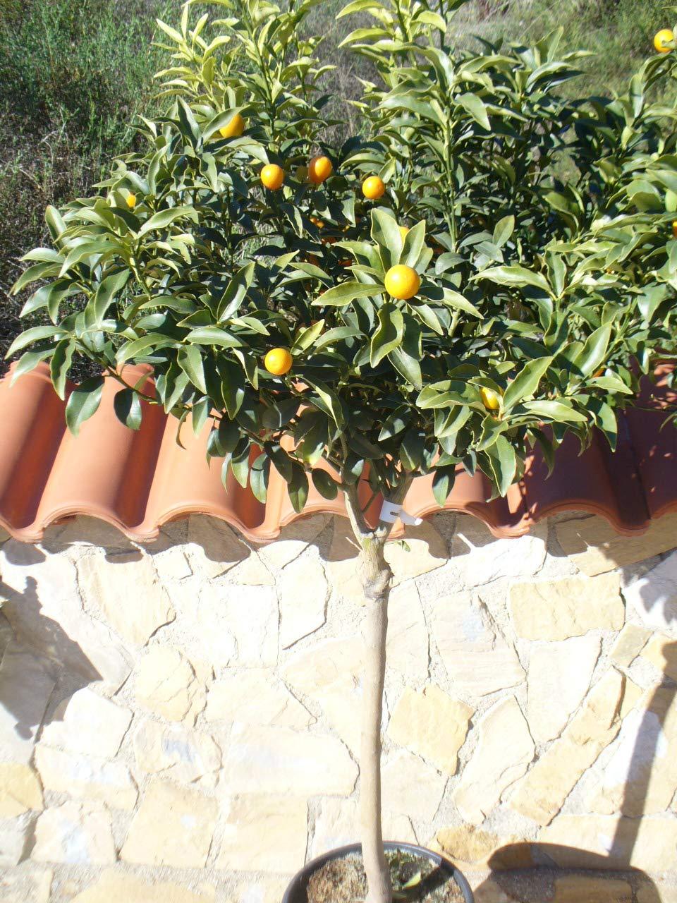 Kumquat//Citrus fortunella Margarita//Mini Orange//Kumquat Plant