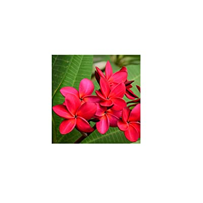 Red Hawaiian Plumeria Frangipani Cutting 9 to 12 inches Long #C1 : Tree Plants : Garden & Outdoor