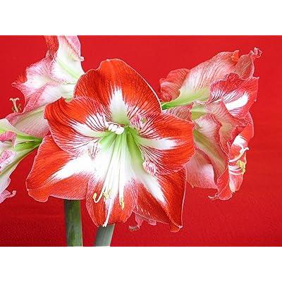 HUANGRU Amaryllis Minerva Large Bulb 26-28cm! Great Holiday Gift!: Garden & Outdoor