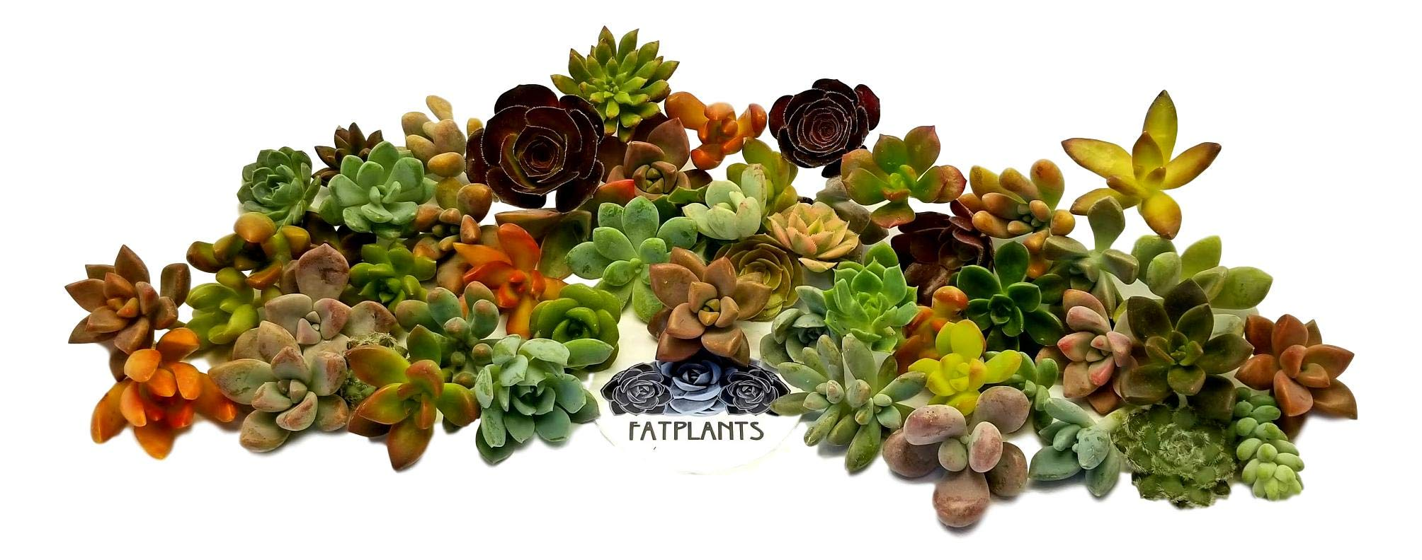 Fat Plants San Diego Miniature Rosette Succulent Cuttings (50)
