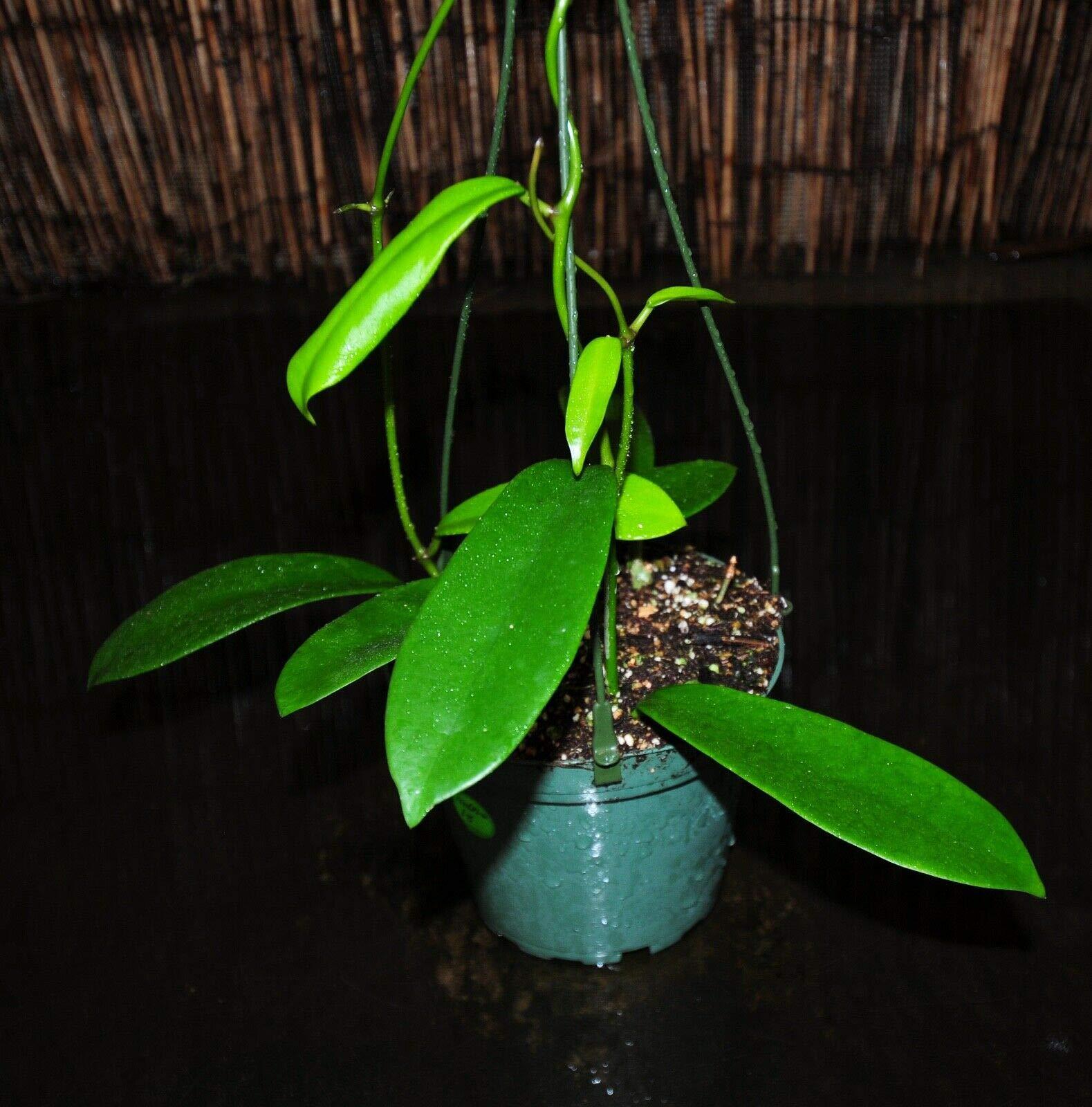 Rare Hoya meliflua SSP. fraterna 5.5'' Hanging Baskets Furry Blooms Gorgeous (Premium Quality) by AY-Premium