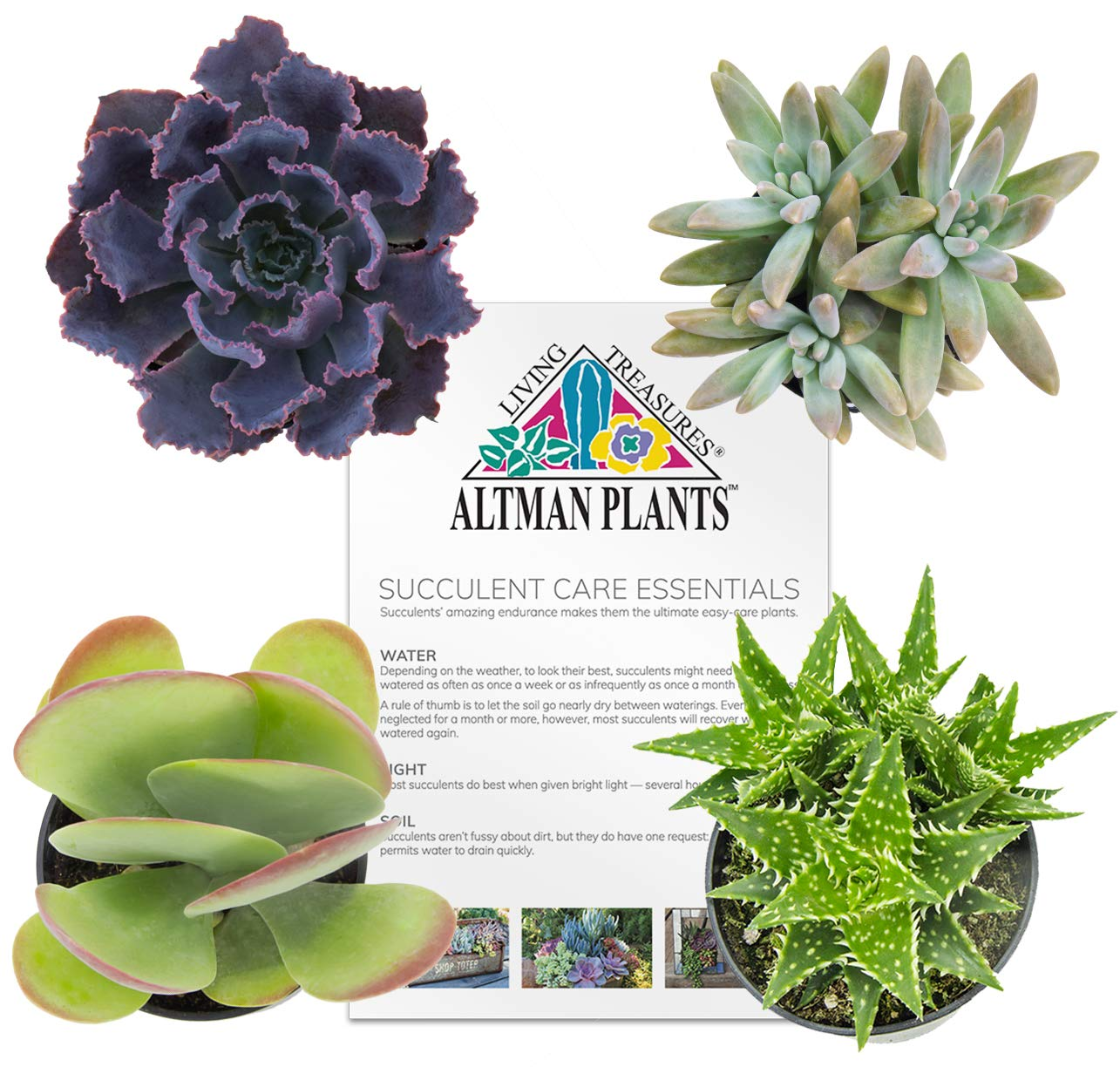 Altman Plants Assorted Live Succulents All Time Favorite Collection Mini plants for DIY planters and terrariums, 2.5'', 4 Pack