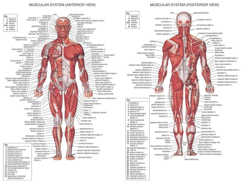 Amazon Human Body Anatomical Chart Muscular System Poster 32