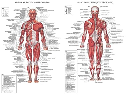 Amazon.com: Human Body Anatomical Chart Muscular System poster 32 ...