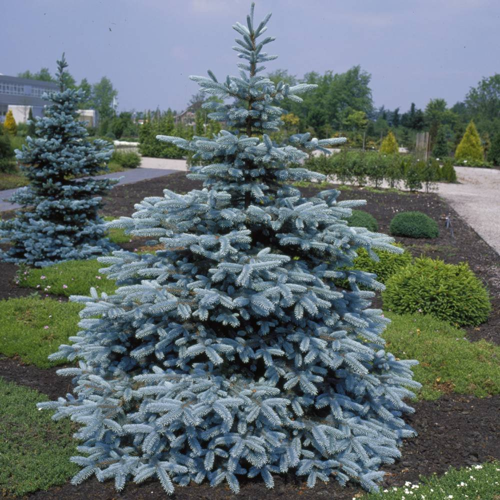 Picea pungens Hoopsii - 1 tree Gardens4you