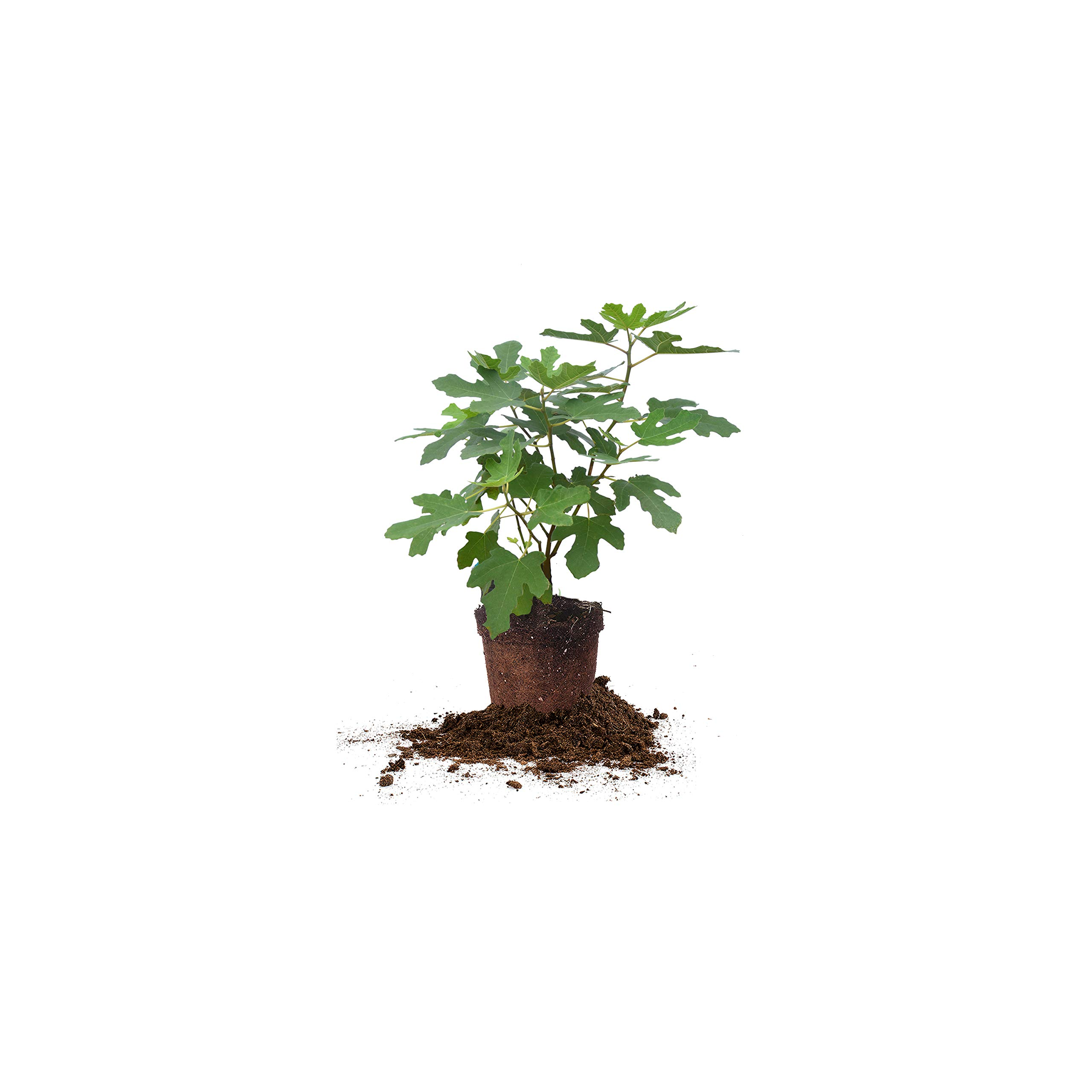 Perfect Plants Chicago Hardy Fig Tree Live Plant, 1 Gallon, Includes Care Guide by PERFECT PLANTS
