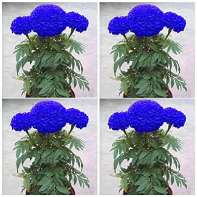 Kukakoo's Garden 丨10 Pcs New Variety Plant Blue Watermelon Seeds Vegetable Organic Home Garden Non-GMO Seeds Open Pollinated Seeds for Planting : Garden & Outdoor