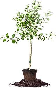 Golden Delicious Apple Tree - Size: 5-6', Live Plant, Includes Special Blend Fertilizer & Planting Guide