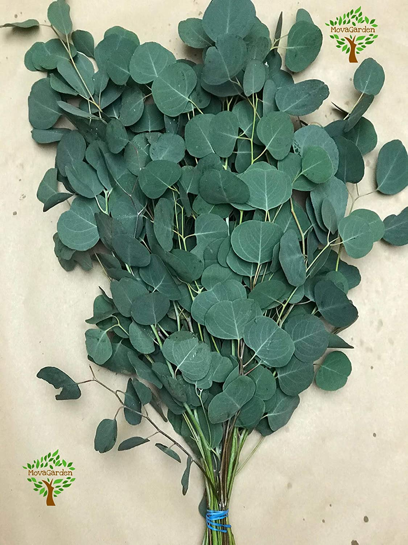 Amazon.com: Fresh Cut & Preserved Eucalyptus Silver Dollar ...