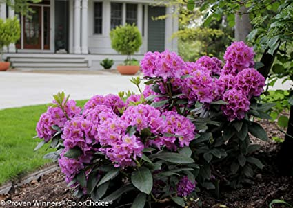 Rhododendron In Pot.Dandy Man Pink Rhododendron Quart Pot Proven Winners
