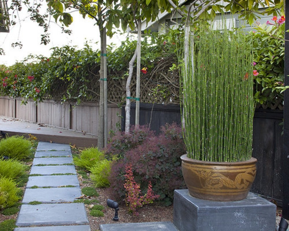 8 x Horsetail Reed Bamboo Looking Zen Garden & Pond 8'' Tall Plants by justice fighters (Image #2)