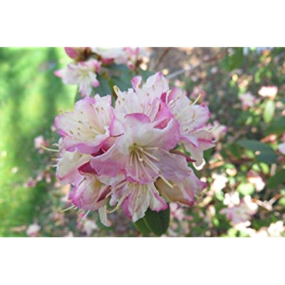 Rhododendron Mary Fleming #2 Container Size Plant : Garden & Outdoor