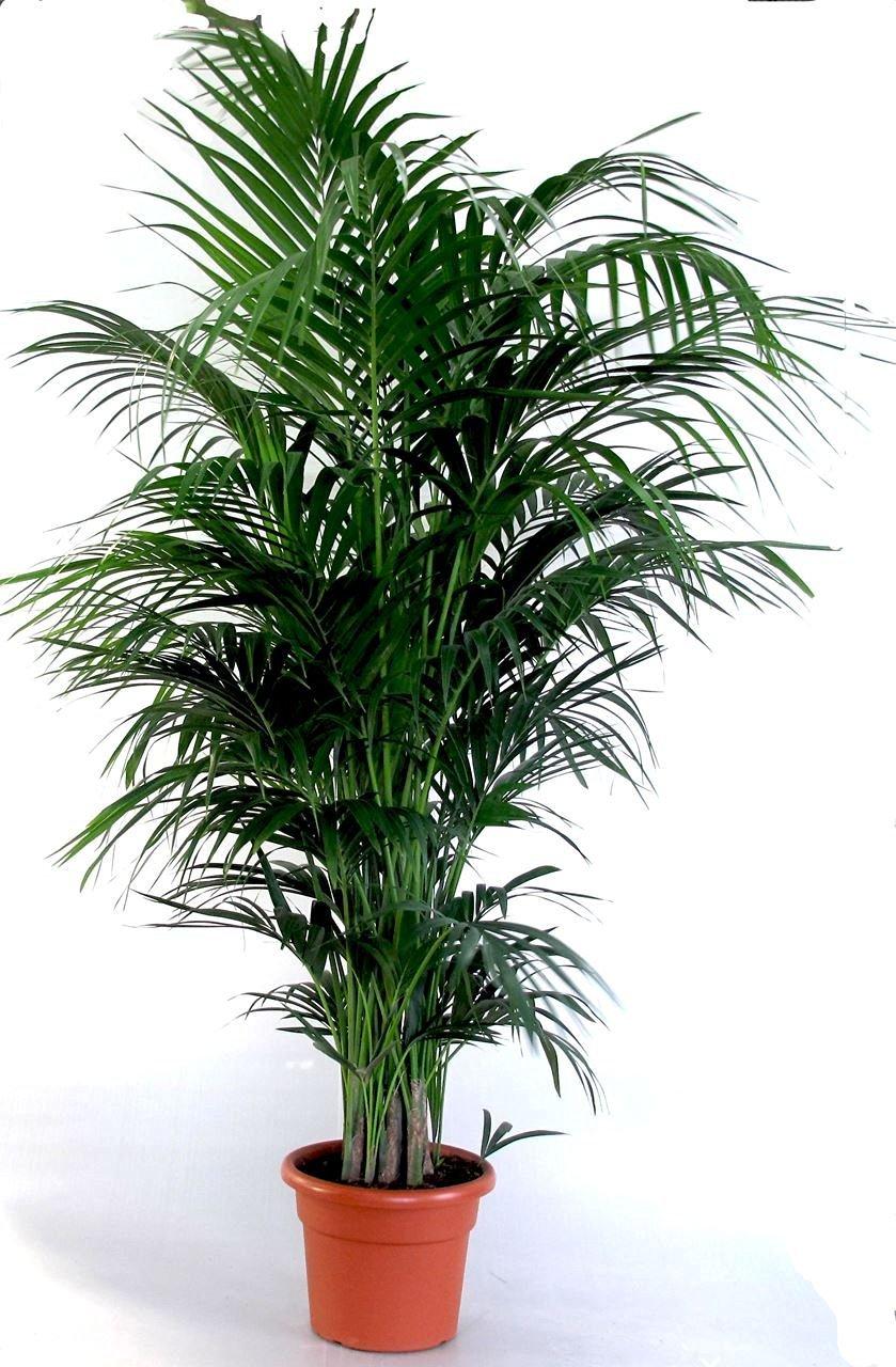 Die schönste Zimmerpalme der Welt ! Howea Forsteriana Kentia Palme Anspruchslos von jedermann zu pflegen 1 Pflanze ca. 100-110 cm.