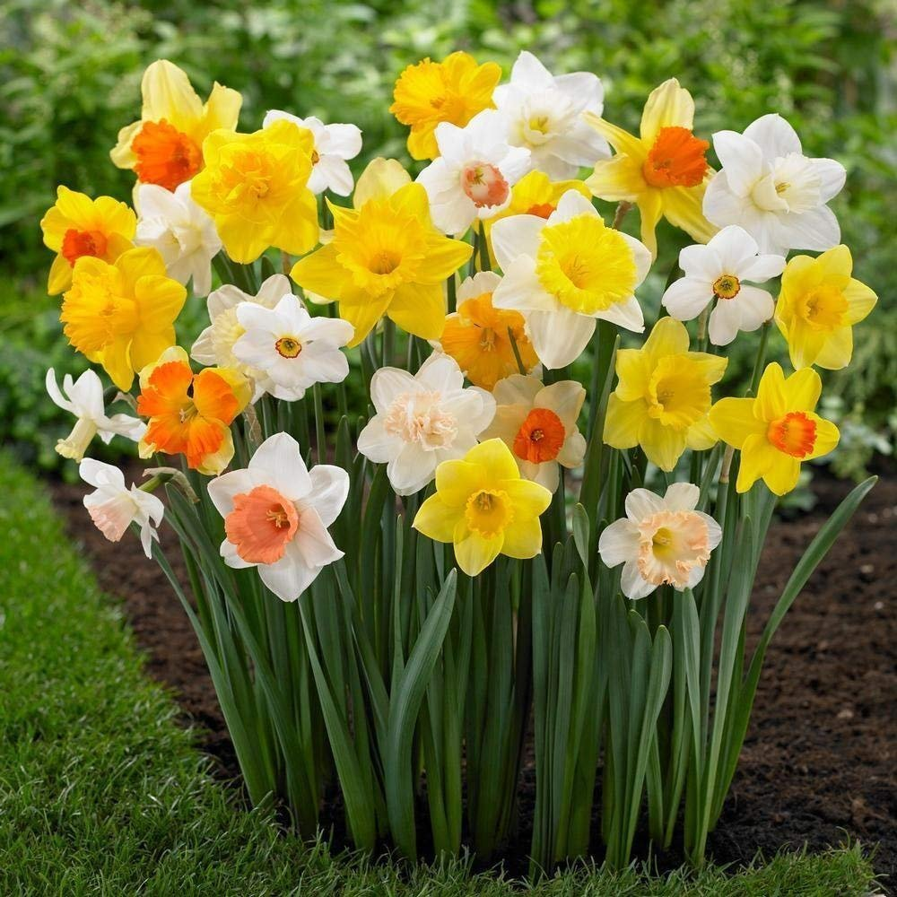 (50) Mixed Colors of Daffodil Bulbs Beautiful Flowers, Fast delivery and Very Good Quality, Easy to Grow Flower Bulbs Easy to Grow eco-Friendly Plants Home Garden by USBB