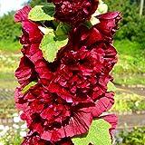 lichtnelke - Stockrose ( Alcea rosea plena ' Chaters SCARLET ' ) rot gefüllt
