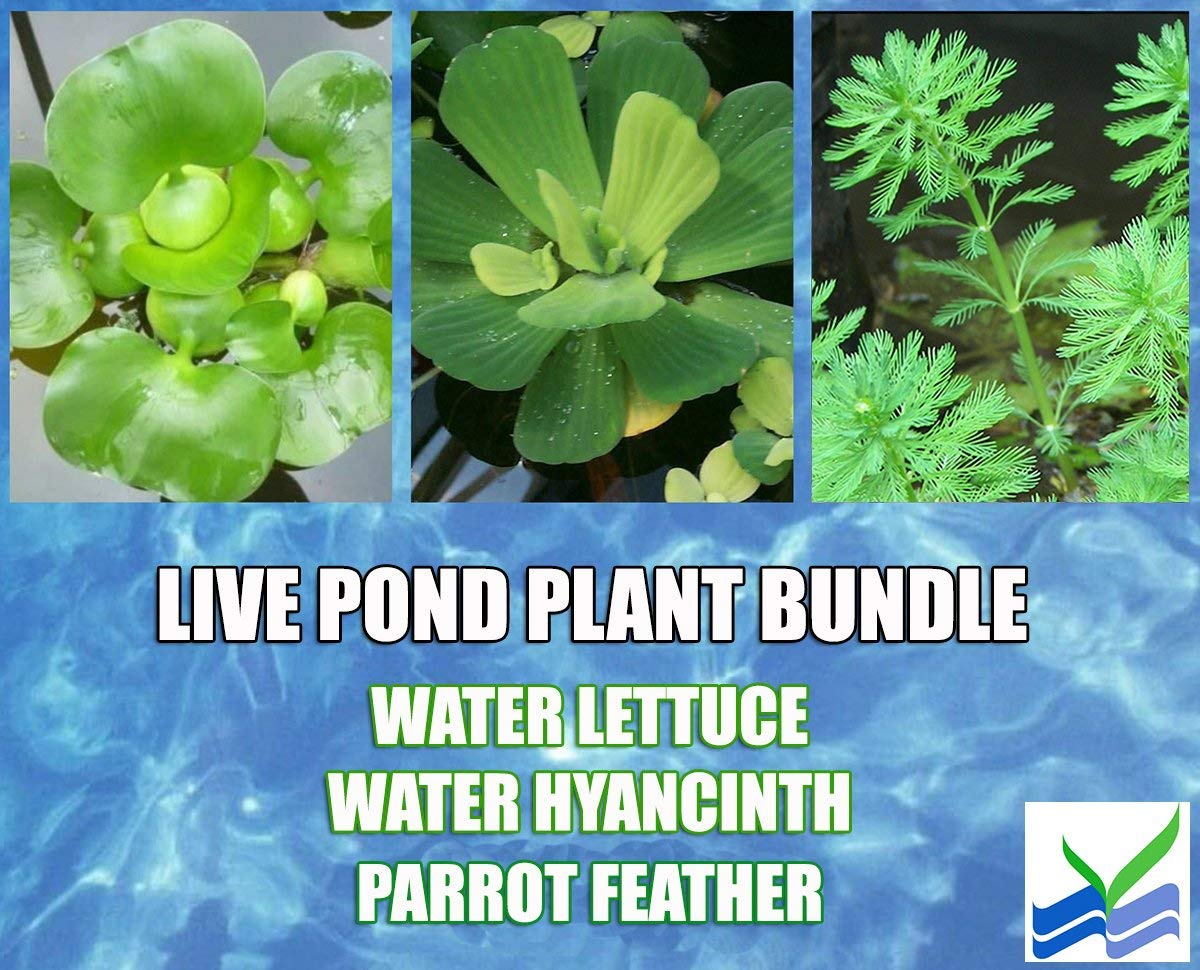 3 Water Lettuce + 3 Water Hyancinth Bundle + Parrot Feather - Floating Live Pond Plants 1