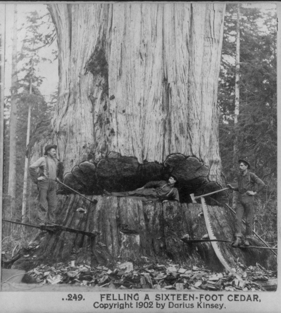 1902 Photo Felling a sixteen-foot cedar Man lying in cut in a tree; two men with axes standing at side of the tree.