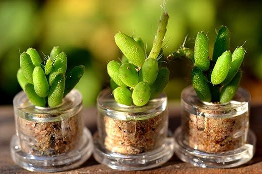 Amazon.com: Llavero de terrario Coral Cactus Accesorio ...