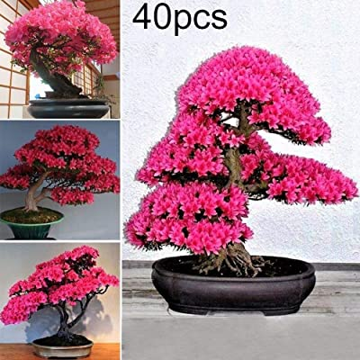 WskLinft 40Pcs Rare Cherry Blossom Seeds Flower Tree Plant Bonsai Home Garden Decoration for Planting for Indoor and Outdoor All Seeds are Heirloom, 100% Non-GMO! Cherry Blossom Seeds : Garden & Outdoor