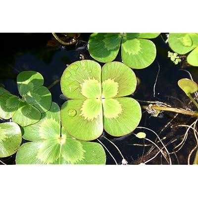 POND PLANT CLOVER, VARIEGATED : Garden & Outdoor