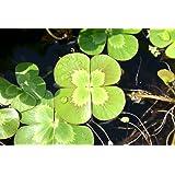 POND PLANT CLOVER, VARIEGATED