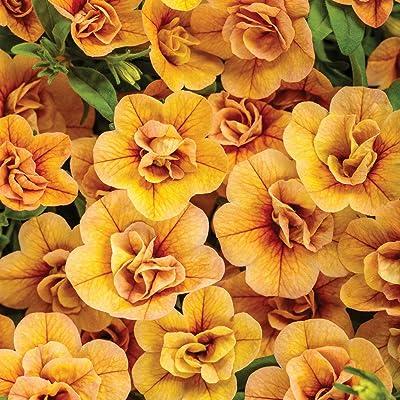 "Superbells Premium Annual Plants (4-Pack), Calibrachoa Hybrid, Double Amber Color, 4.33"" Pot : Garden & Outdoor"