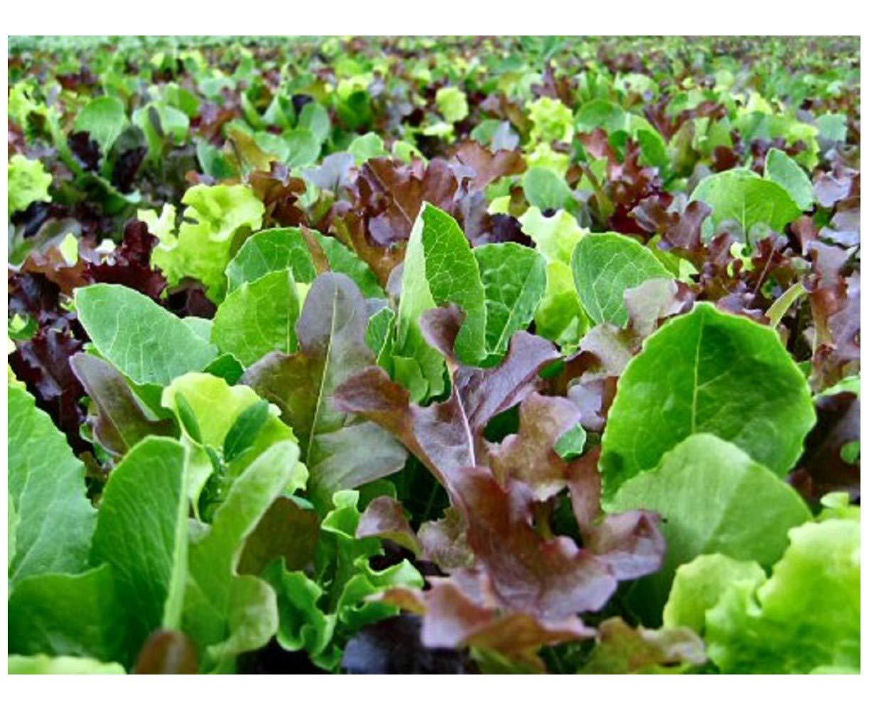 PREMIER SEEDS DIRECT - Lettuce - Mixed Leaf - MESCLUN Mix - 2500 Seeds