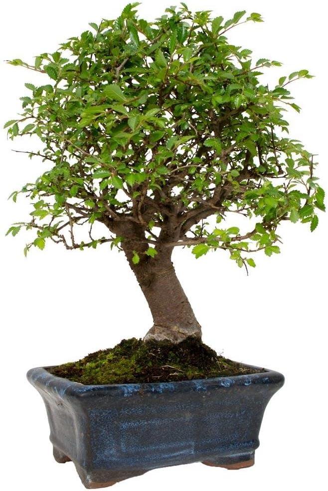 Zelkova parvifolia 5 años OLMO CHINO