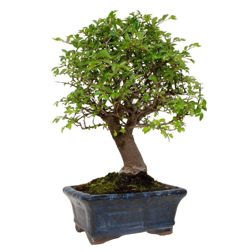 bonsáis de japón