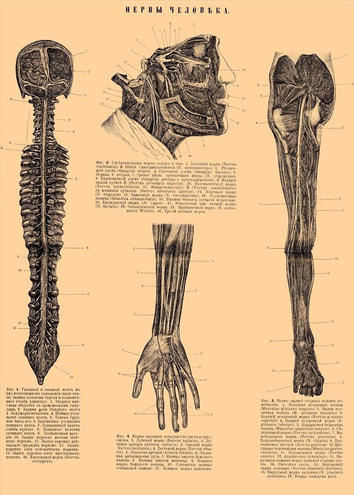Amazon.de: Vintage Anatomie, Der menschliche Köper. Russland 1800 Jh ...