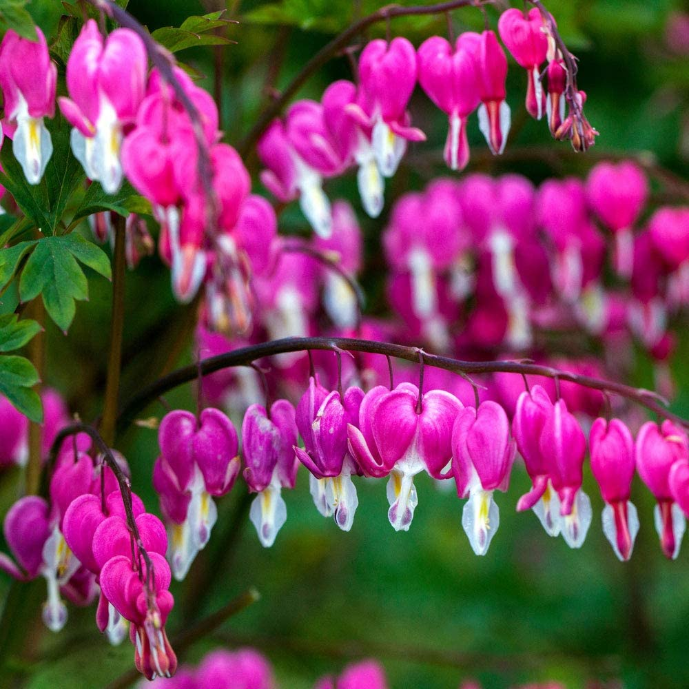 AIMADO Seeds-10 Pcs Dicentra spectablis Seeds Hardy Perennial,Heart-Shaped Flowers bee Seeds Ideal for beds and Borders,Patio pots and containers