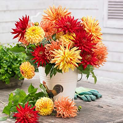 Dahlia Sunset Mix (3 tubers), Great Cut Flowers, Blooms Summer to Fall : Garden & Outdoor