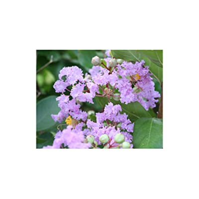 20 Seeds Lagerstroemia Indica Brilliant Pink Blooms Banaba Crape Myrtle Small Tropical Tree Shrub Seeds Zones 8+ OR Container Gardening Bonsai : Garden & Outdoor