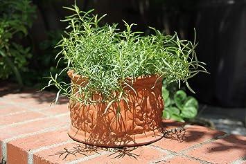 Amazon Com Herb Seeds Garden French Tarragon Aromatic Herb