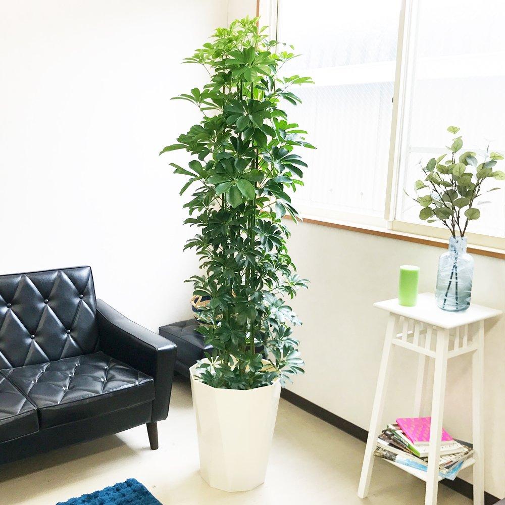シェフレラ 10号 ホンコンカポック 観葉植物 インテリア 大型 オシャレ大きい 尺鉢 B01GGFO6BQ