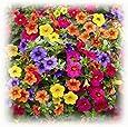 XIANJIA – 100 piezas de petunias colgantes de jardín para colgar semillas de flores perennes para jardín, balcón, patio