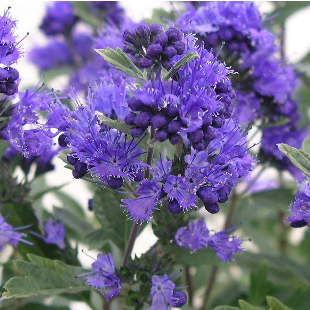 1 X CARYOPTERIS CLANDONENSIS DARK KNIGHT BLUEBEARD DECIDUOUS SHRUB PLANT IN POT Gardener's Dream